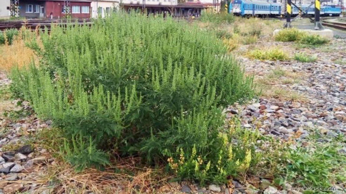 Informácia o inváznych druhoch rastlín a drevín.
